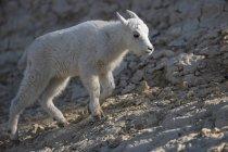 Канада, Альберта, скалистые горы, Национальный парк Джаспер, Банфе Национальный парк соли, молодой горный козел на ходу — стоковое фото