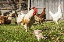 Kätzchen und Hühner tagsüber auf einem Bauernhof — Stockfoto