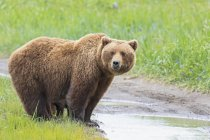 Brown bear (Ursus arctos) on meadow by stream looking at camera — Stock Photo