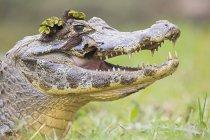 Closeup of Yacare Caiman in green grass at daytime, Mato Grosso do Sul, Pantanal, Brasilia, South America — Stock Photo