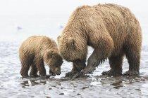 Ours brun et ourson se nourrissant de moules au parc national et à la réserve de parc national Lake Clark, Alaska, États-Unis — Photo de stock
