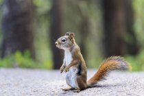 Canada, Alberta, Rocky Mountains, Jasper National Park, Banff Nationalpark, ff Nationalpark,  Icefields Parkway, American red squirrel (Tamiasciurus hudsonicus) standing on a road — Stock Photo
