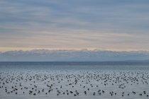 Alemania, Baden-wurttemberg, Constanza, lago Constanceview a los Alpes suizos con muchos pájaros del agua en el frente - foto de stock