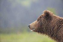 Brown bear (Ursus arctos) muzzle side view — Stock Photo