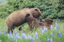Deux ours bruns jouant le jour, parc national et réserve de parc national du lac Clark, Alaska, États-Unis — Photo de stock