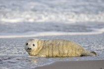 Cucciolo di foca grigia in acqua sulla spiaggia durante il giorno, Duene Island, Helgoland, Germania — Foto stock
