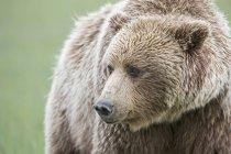 Closeup view of Brown bear (Ursus arctos) looking aside — Stock Photo