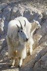 Canada, Alberta, Rocky Mountains, Jasper National Park, Banff Nationalpark, mountain goat (Oreamnos americanus) with child — Stock Photo