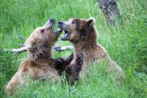 Two young brown bears playing at daytime, Katmai National Park, Alaska, USA — Stock Photo