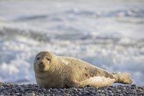 Sigillo grigio adulto sulla spiaggia di giorno, Duene Island, Helgoland, Germania — Foto stock