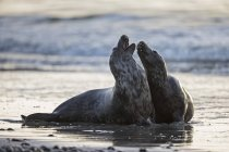 Пара сірий ущільнення, граючи на пляжі в денний час, Гельголанд, Німеччина — стокове фото