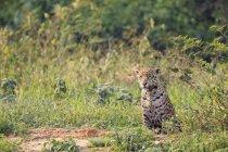 L'Amérique du Sud, Brasilia, Mato Grosso do Sul, Pantanal, alerté Jaguar assis dans la nature — Photo de stock