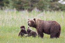 Бурий ведмідь з ведмежатами, стоячи в озеро Кларк Національний парк і заповідник, Аляска, США — стокове фото