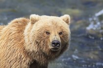 Close-up do urso marrom forrageamento em Brooks Falls, no diurno, do Parque Nacional Katmai, Alasca, EUA — Fotografia de Stock