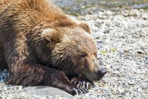 Closeup of brown bear lying on stones at Brooks Falls, Katmai National Park, Alaska, USA — Stock Photo