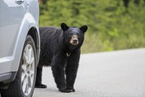 American black bear (Ursus americanus) standing by car on road — Stock Photo