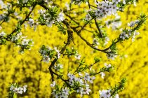 Белое абрикосовое цветет и цветки желтые Форсайтия Просмотреть — стоковое фото