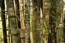 Australien, neue Südwales, Sydney, Namen und Daten auf Bambusstämme (bambusoideae) im königlichen Garten geschnitzt — Stockfoto