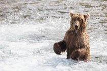 Бурый медведь, нагула на водопаде Брукс в дневное время, Национальный парк Katmai, Аляска, США — стоковое фото