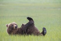 Brown mother bear feeding bear cub in green grass at Lake Clark National Park and Preserve, Alaska, USA — Stock Photo