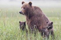 Urso marrom com filhotes no Parque Nacional do Lago Clark e preservar, Alasca, Estados Unidos — Fotografia de Stock