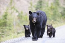 American black bear with bear cubs walking on road at daytime, Jasper National Park, Alberta, Canada — Stock Photo