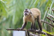 Крупним планом капуцин мавпа сидить на гілці дерева зеленим в денний час — стокове фото