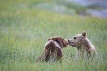 Giovani orsi bruni che giocano al Lake Clark National Park and Preserve, Alaska, USA — Foto stock