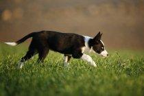 Щенок Колли бежит по лугу — стоковое фото