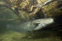 Germany, Bavaria, Wels catfish, Silurus glandis, in river Alz — Stock Photo