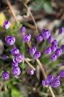 Germania, purple Crocus in giardino su priorità bassa vaga — Foto stock