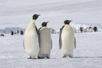 Antarctica, Antarctic Peninsula, Snow Hill Island, three Emperor Penguins (Aptenodytes forsteri) in front of animal group — Stock Photo