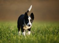 Border Collie chiot marche sur prairie — Photo de stock