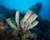 Filipinas, Océano Pacífico, Callyspongia esponja bajo el agua - foto de stock