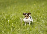 Jack Russel Terrier puppy carrying soft toy on meadow — Stock Photo