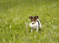 Cucciolo di Jack Russel Terrier che trasportano giocattolo morbido sul prato — Foto stock