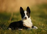 Border Collie puppy lying on meadow — Stock Photo