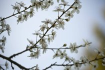 Twig with blossoms of cherry-plum (Prunus cerasifera) — Stock Photo