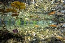 Deutschland, Bayern, Goldfische im Gartenteich — Stockfoto