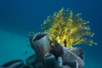 Philippines, Océan Pacifique, Busuanga, Étoile à plumes buissonnante variable sur une éponge tubulaire — Photo de stock