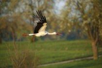 Cicogna bianca volando in parco verde, vista laterale — Foto stock
