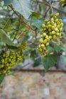 Italy, Tuscany, San Quirico d'orcia, Empress Tree (Paulownia tomentosa) — Foto stock