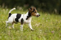 Jack Russel puppie walking on grass — Stock Photo