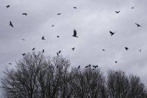 Herde von Krähen fliegen über Bäumen vor Regenwolken im winter — Stockfoto