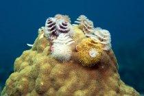 Caribbean, Antilles, Curacao, Westpunt, Christmas tree worm, Spirobranchus giganteus, on Brain coral in Caribbean Sea — Stock Photo