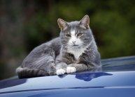 Кошка лежит на капоте синей машины — стоковое фото