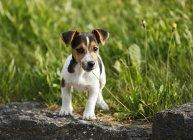 Jack Russel Terrier chiot se tenant sur pierre en face de la Prairie — Photo de stock