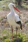 Portrait de cigogne blanche standing sur terrain herbeux — Photo de stock