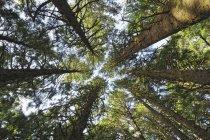 Estados Unidos, Oregón, Ecola State Park, vista a las copas de los árboles desde abajo - foto de stock