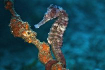 Caballito de mar (hipocampo hudsonius) bajo el agua - foto de stock